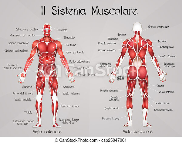 Illustration Of The Muscular System