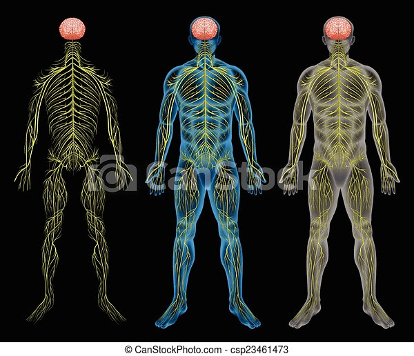 The nervous system. The human nervous system on a black background.