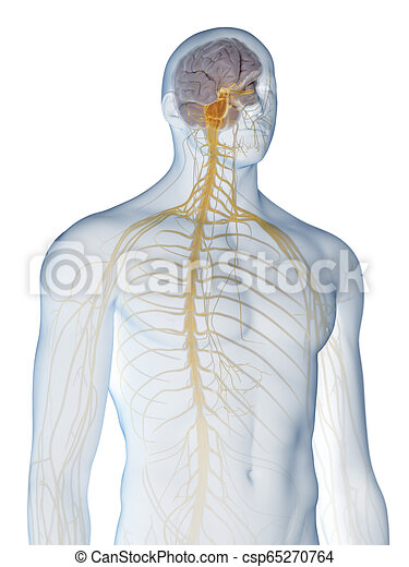 the nervous system - csp65270764