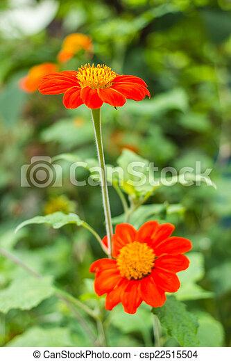 The orange flower in nature - csp22515504
