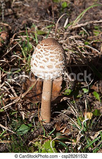 The Parasol Mushroom (Macrolepiota procera) - csp28261532
