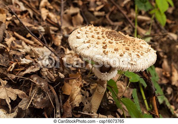 The parasol mushroom - csp16073765