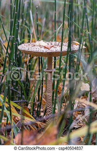 The parasol mushroom - csp40504837