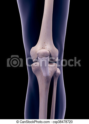 Medically accurate illustration of the patellar ligament.