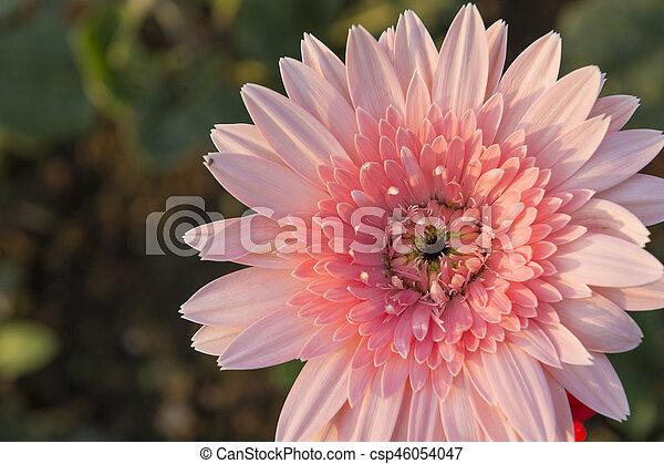 the pink gerbera daisy flower with the sun light