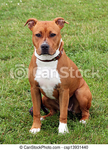 The portrait of American Staffordshire Terrier - csp13931440