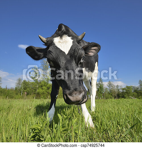 The portrait of cow sniffing a camera on the background of green field. Farm animals. Grazing cow - csp74925744