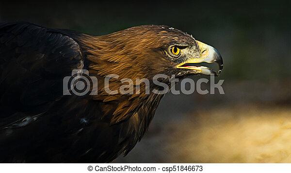 The portrait of golden eagle (Aquila chrysaetos) at sunset - csp51846673