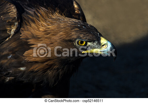 The portrait of golden eagle (Aquila chrysaetos) at sunset - csp52146511