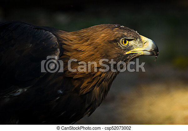The portrait of golden eagle (Aquila chrysaetos) at sunset - csp52073002