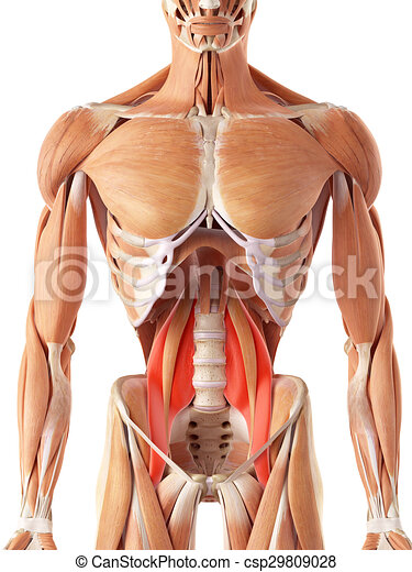 The psoas major. Medically accurate illustration of the psoas major.