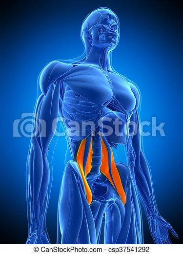 Medically accurate illustration of the psoas major.