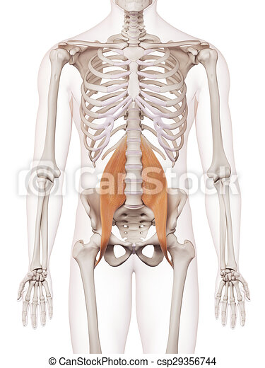 The psoas minor. Medically accurate muscle illustration of the psoas ...