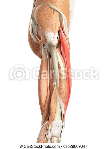 The rectus femoris. Medically accurate illustration of the rectus ...