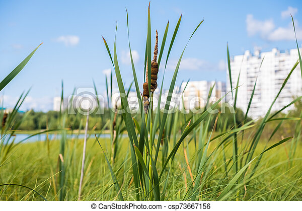 The reeds grow on a small blue lake in daylight. - csp73667156