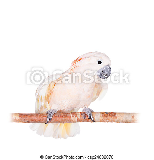 The salmon-crested cockatoo on white - csp24632070