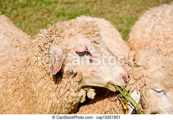The Sheep eating green grass - csp10251851