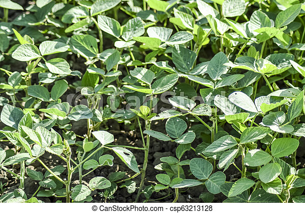 the Soy field. Midge in the leaves of soy. - csp63213128