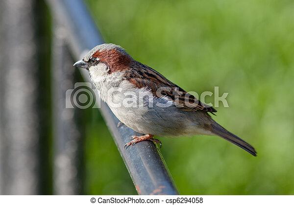 The sparrow - csp6294058