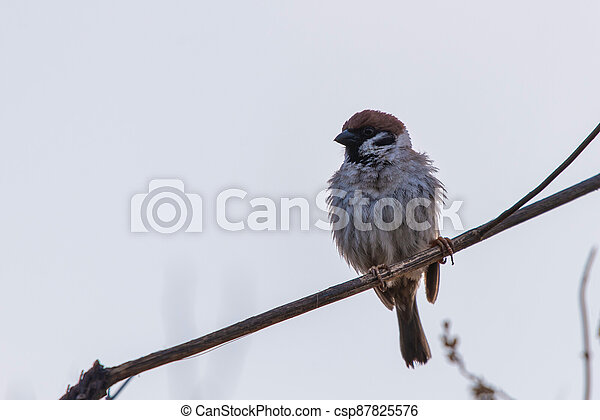 The sparrow sits on a branch and straightened feathers - csp87825576
