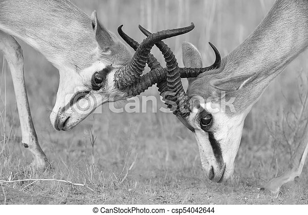 The springbok males sparring for dominance in artistic conversion - csp54042644