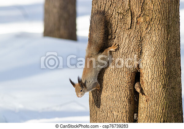 The squirrel on the tree in winter - csp76739283