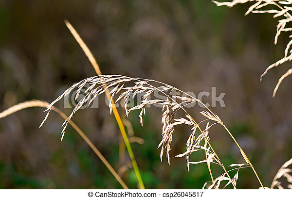 The stems of dried grass on a dark background. - csp26045817
