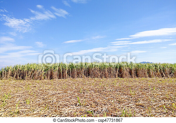 The sugarcane fields with the blue sky - csp47731867