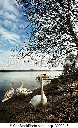 the swans - csp13293945