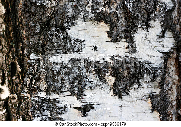 The texture of the tree bark. White birch. Closeup - csp49586179