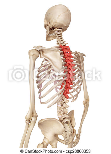 Medical Accurate Illustration Of The Thoracic Spine Stock