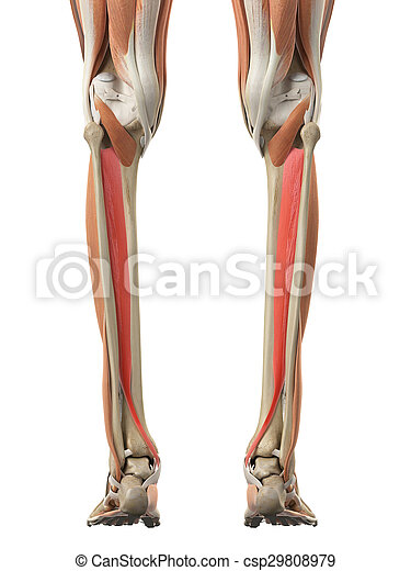 The Tibialis Posterior Medically Accurate Illustration Of The