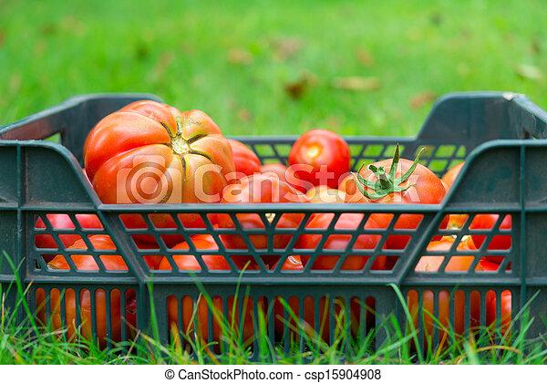 The tomato - csp15904908