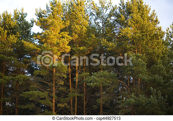 The tops of pine trees at sunset - csp44927513
