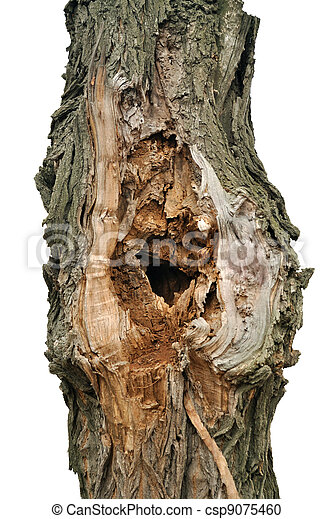 The tree-trunk of white acacia - csp9075460