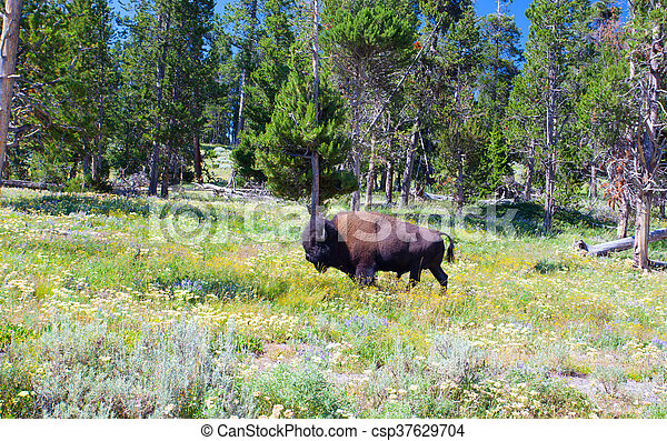 The typical American Bison in the Yellowstone National Park - csp37629704