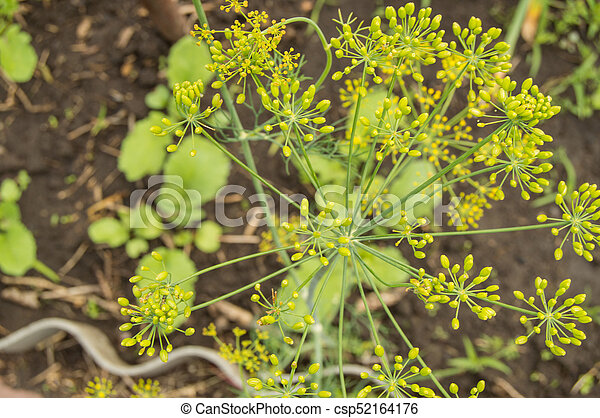 The umbrellas of dill growing in the garden, Background - csp52164176
