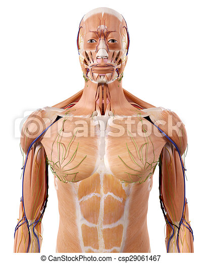 The Upper Body Anatomy Medically Accurate Illustration Of The Upper