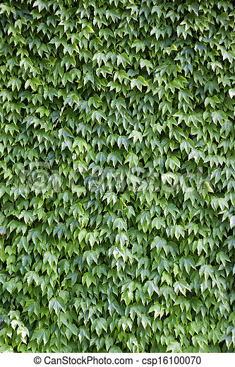 The wall brick covered by green leaves - csp16100070