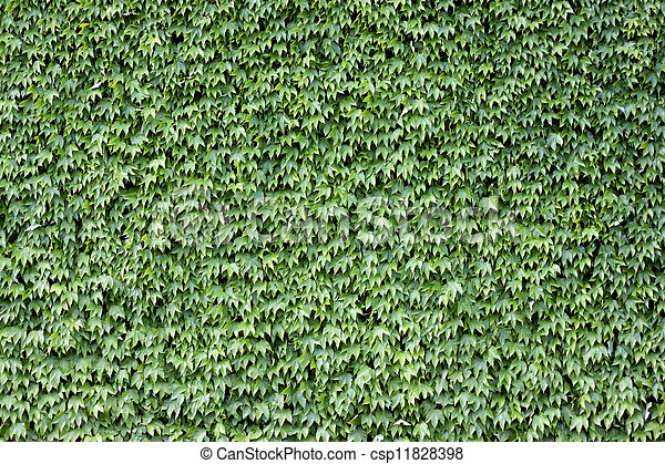 The wall brick covered by green leaves. - csp11828398