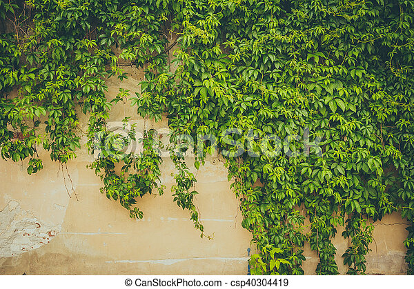 The wall covered by green leaves - csp40304419