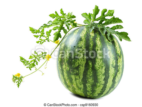 The watermelon. Watermelon on a vine on white background.