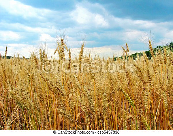 The wheat field - csp5457838