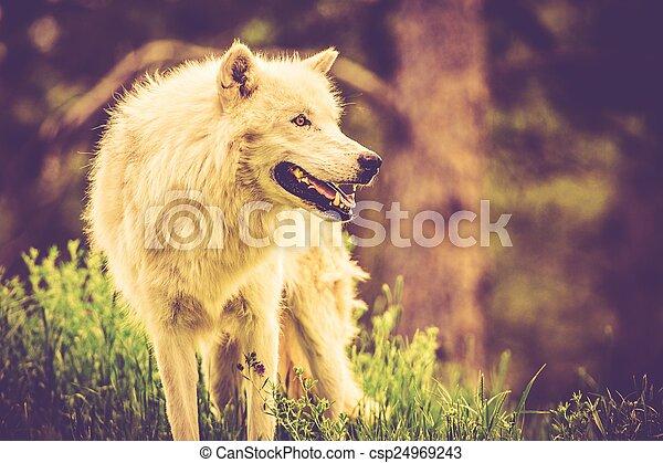 The White Alpha Wolf - csp24969243