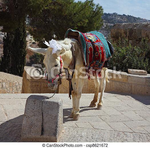 The white donkey in Jerusalem - csp8621672