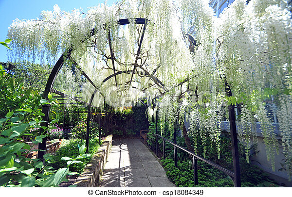 The White Wisteria This Pergola Type Arch Flowing With Wisteria