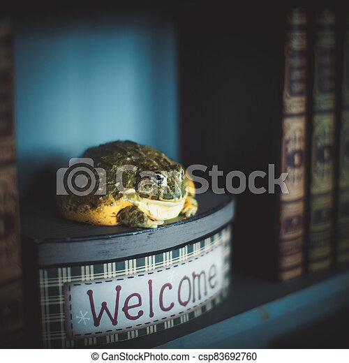 The wise African bullfrog in library on box - csp83692760