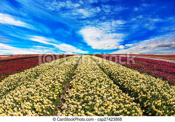 The yellow and red flowers - csp27423868