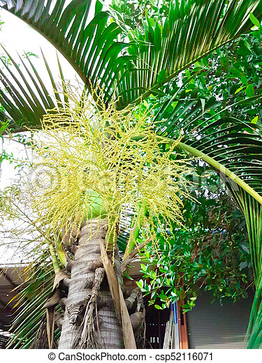 The yellow flower of palm tree in the garden the yellow flower of palm tree csp52116071 mightylinksfo