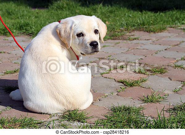 the yellow happy labrador puppy in garden - csp28418216